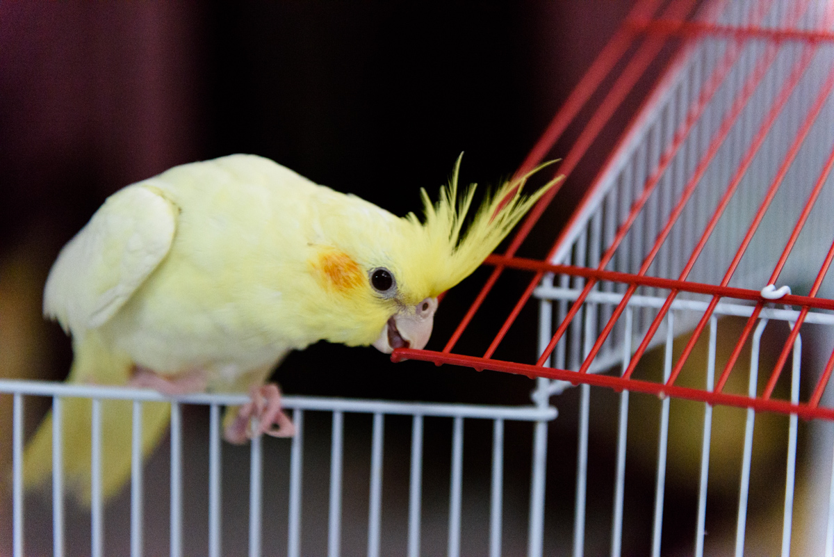 Fidgety cockatiel in action